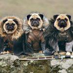 cute pugs game of thrones pugs of westeros 1 150x150 - かわええww ハイクオリティ!!進撃の巨人みたいなコスプレをしたパグ犬ww
