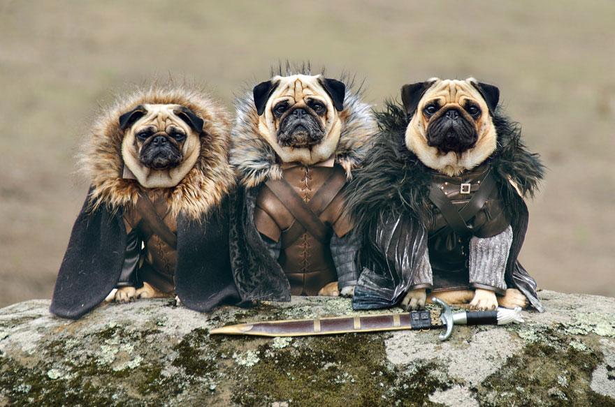 cute pugs game of thrones pugs of westeros 1 - かわええww ハイクオリティ!!進撃の巨人みたいなコスプレをしたパグ犬ww